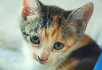 貓血型對貓的影響