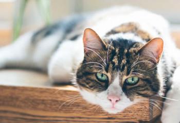如何處理貓咪關節炎?