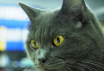 貓咪有4隻耳仔?